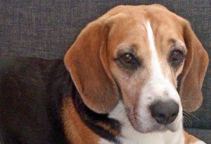 Beagle Sam